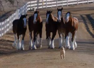 budweiser clydesdales commercial with puppy